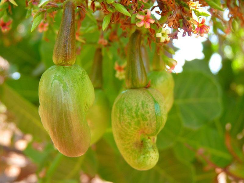 цветет орех кешью