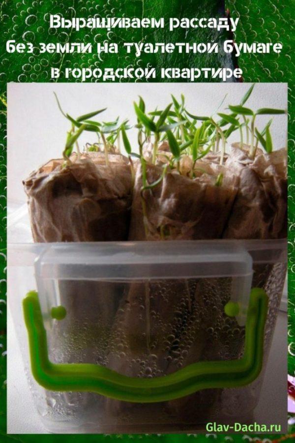 выращиваем рассаду без земли на туалетной бумаге