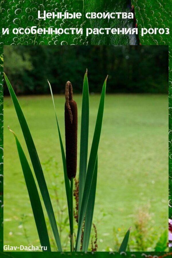 растение рогоз