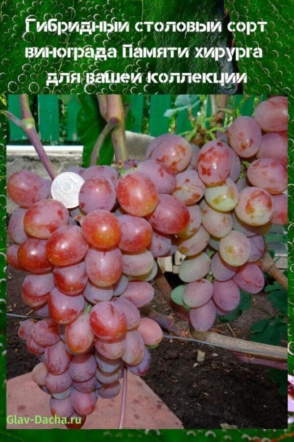 сорт винограда памяти хирурга