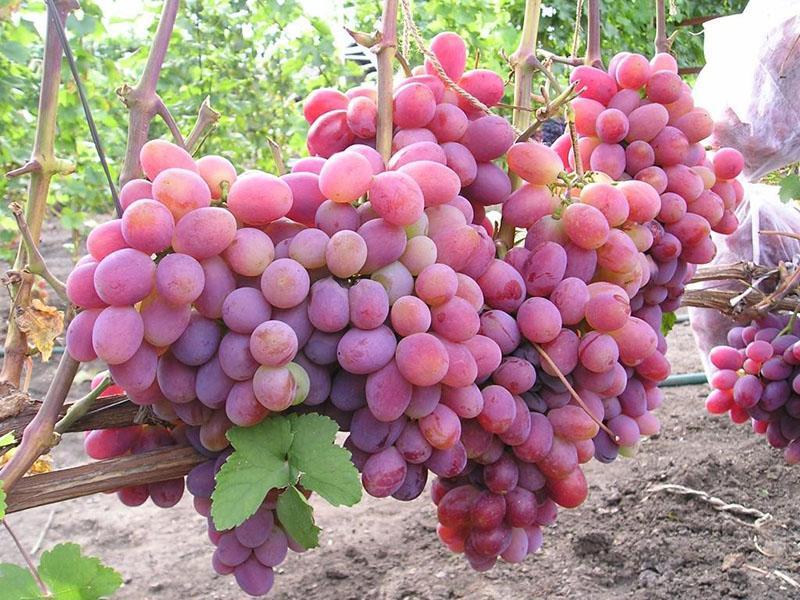 гибридный розовый сорт винограда Памяти хирурга