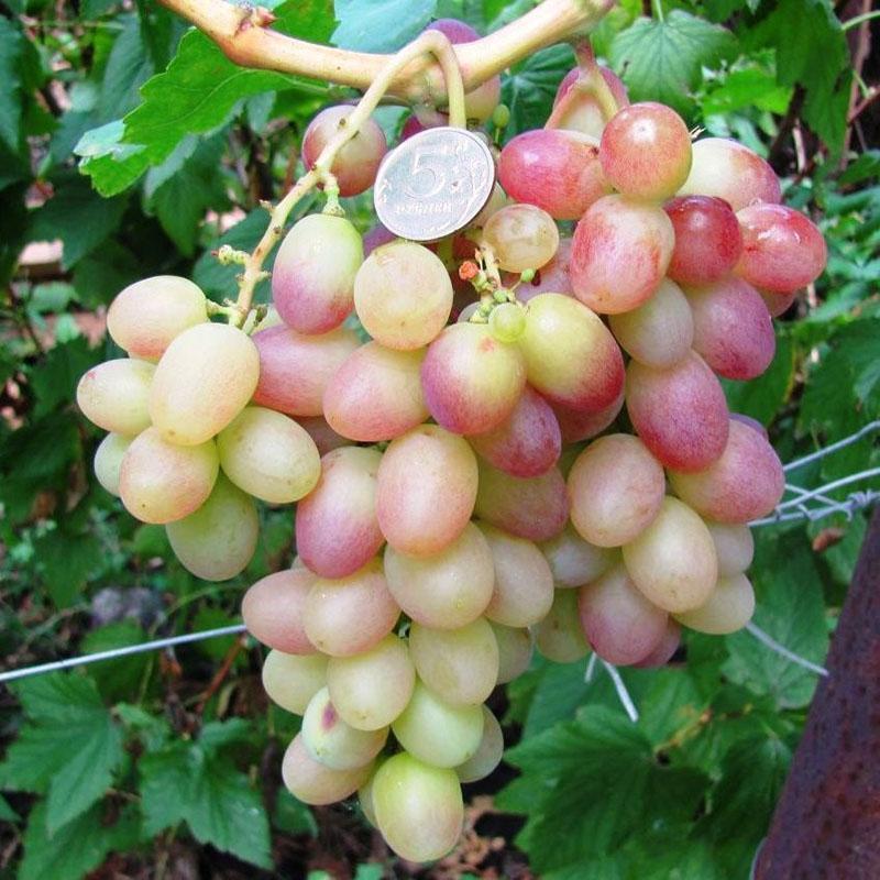 гибридный сорт винограда тасон