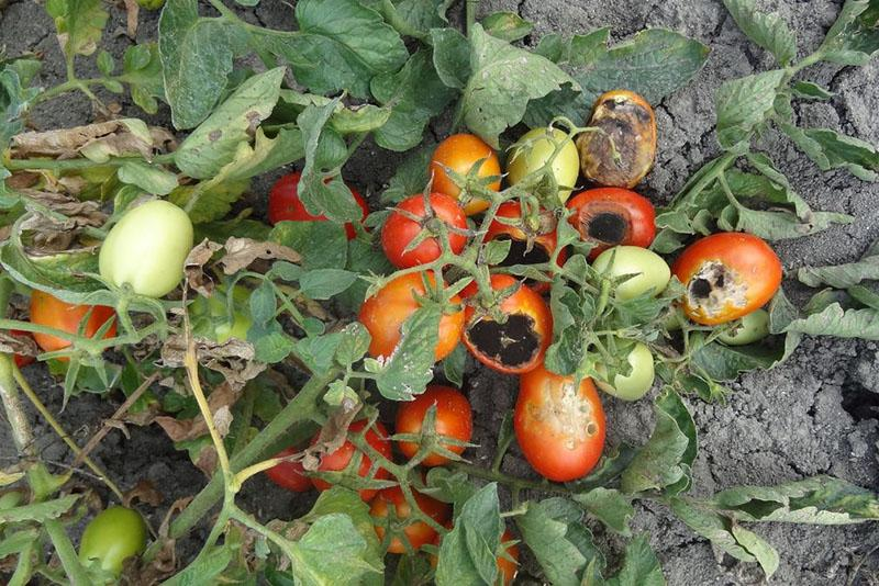 помидоры в открытом грунте