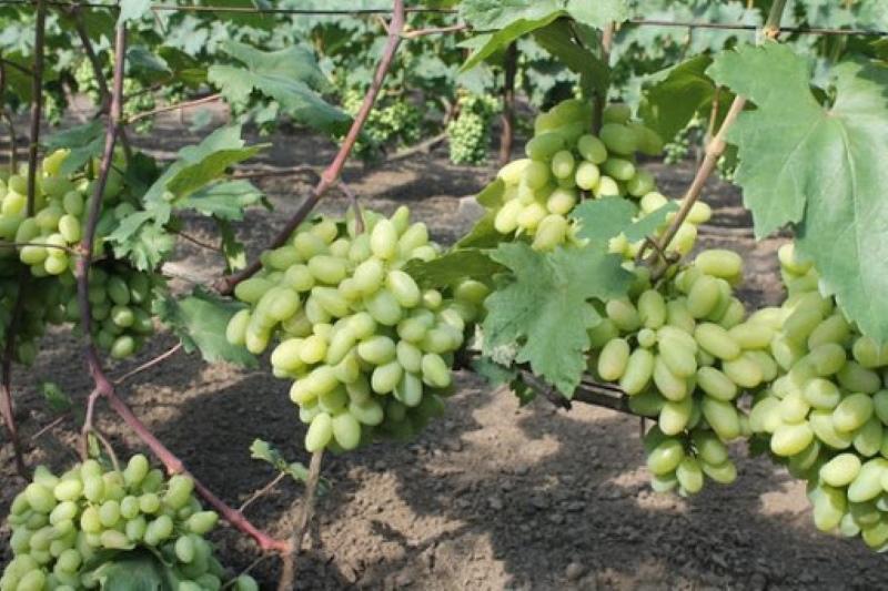 куст винограда ландыша
