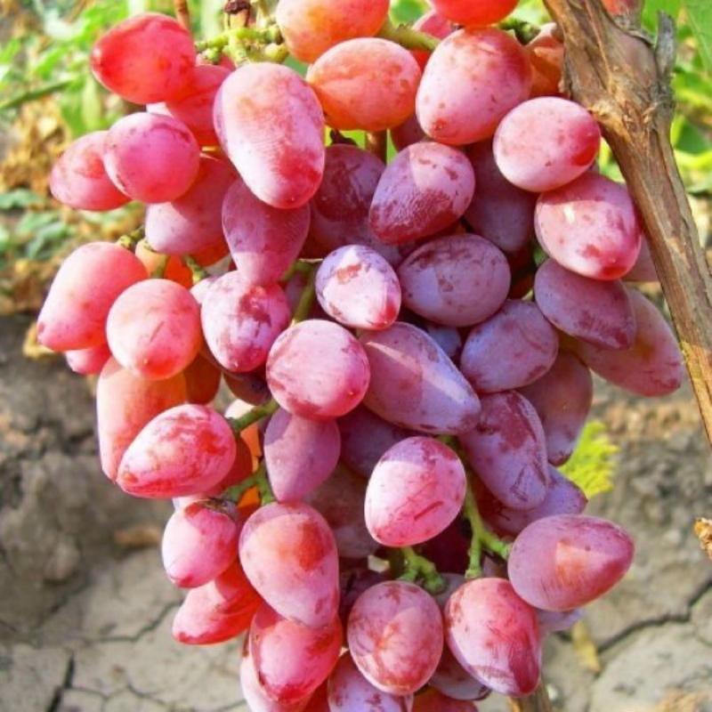виноград болгария устойчивая описание сорта фото троих маленьких детей
