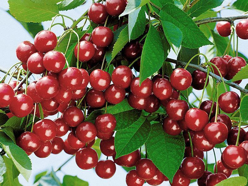 плодоношение вишни уральская рубиновая