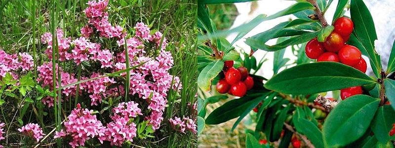 цветение и плоды волчеягодника