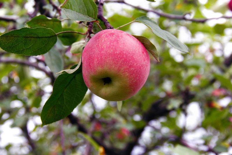 плоды яблони краса свердловска