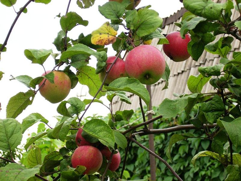 созревают яблоки
