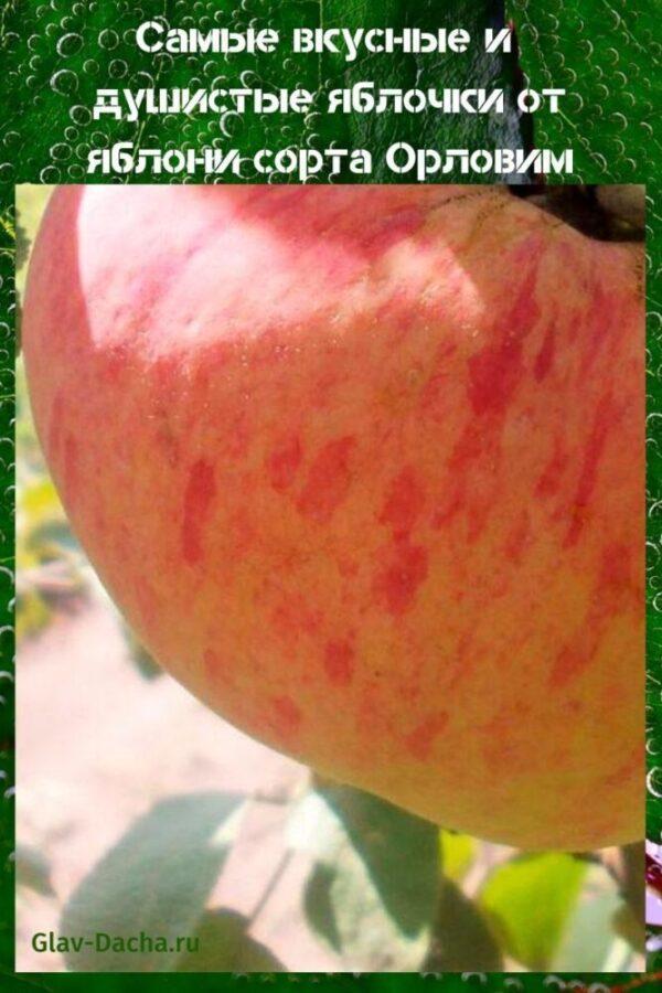 яблоня сорта орловим
