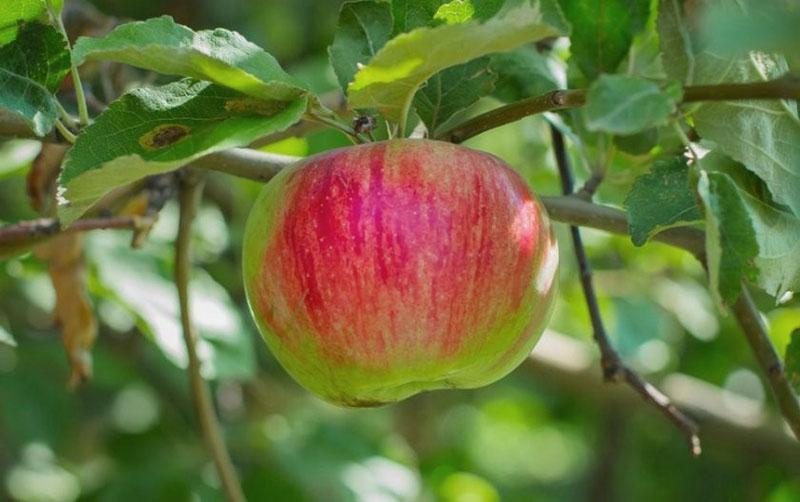 созревает яблоко