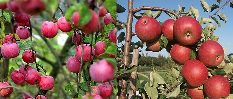 яблоня устойчива к вредителям