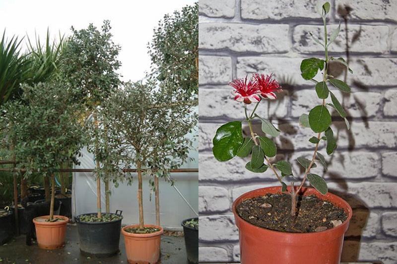 домашнее растение фейхоа