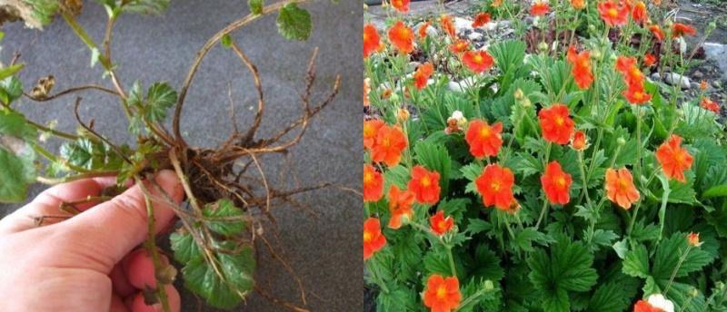 Гравилат- посадка и уход в открытом грунте, выращивание, фото сортов