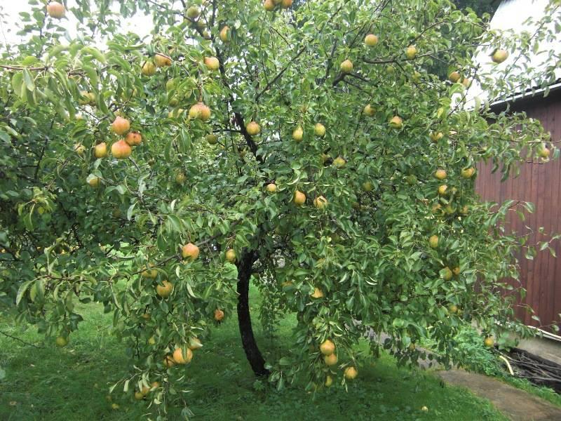 дерево груши белорусская