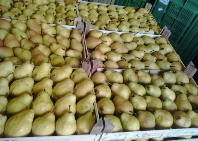 плоды груши белорусской