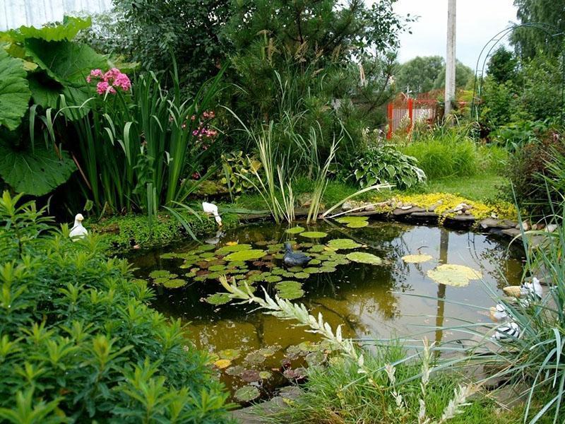 водные растения для дачного пруда