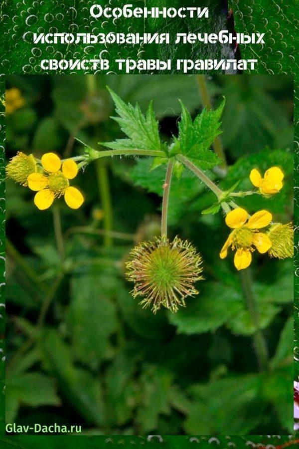 лечебные свойства травы гравилат