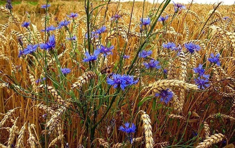 василек на пшеничном поле