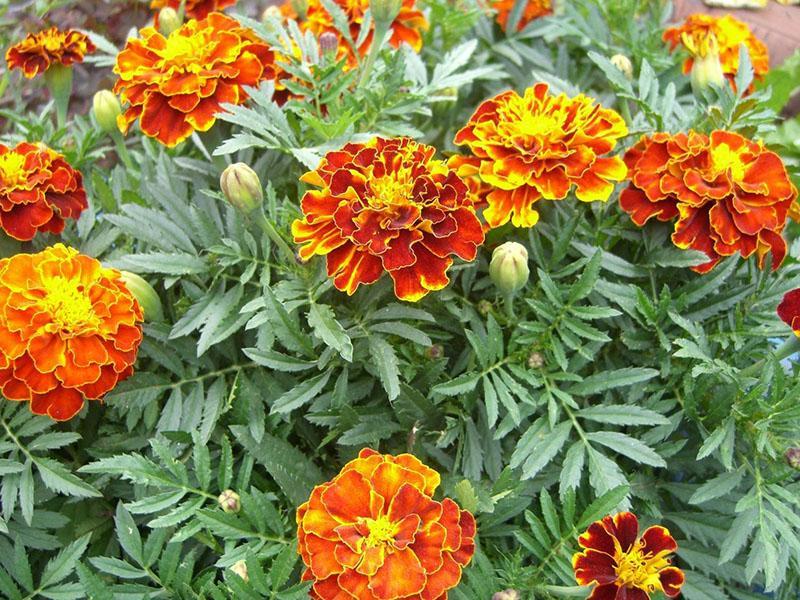 цветут бархатцы
