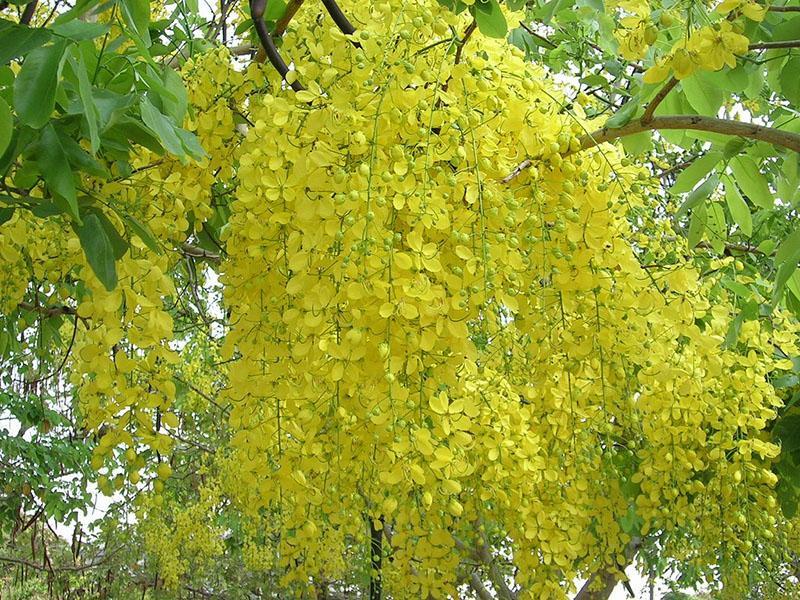 пышное цветение бобовника