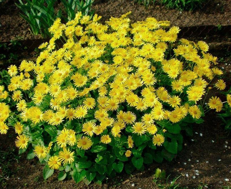 сложноцветковое растение