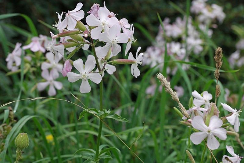 цветет сапонария