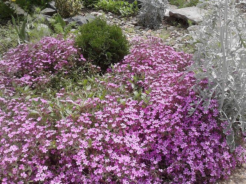 пышное цветение сапонарии