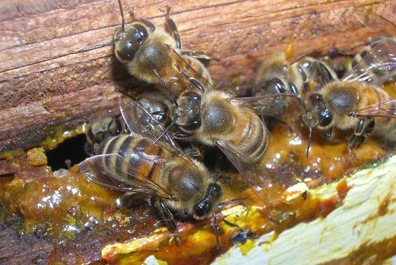работают пчелы