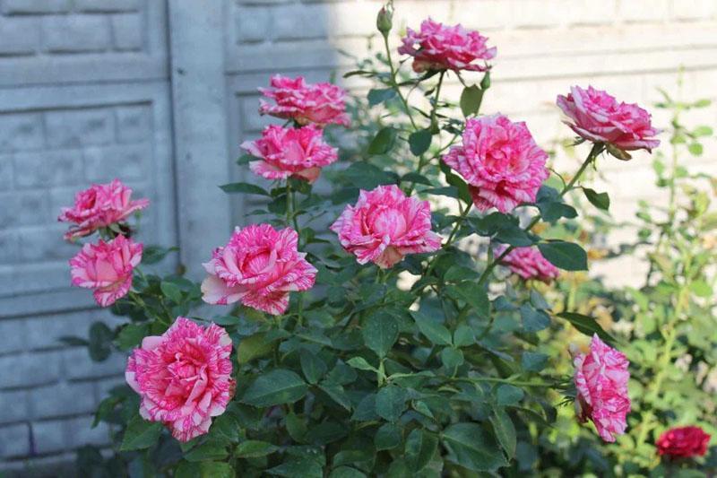 цветет роза