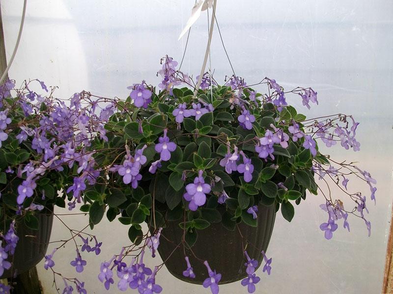 ампельное растение стрептокарпелла голубая