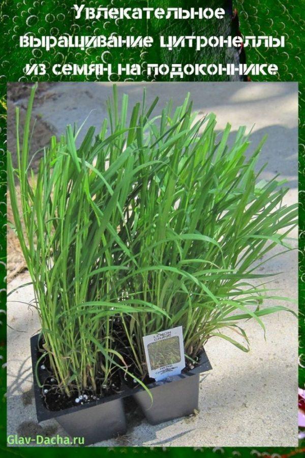 выращивание цитронеллы из семян