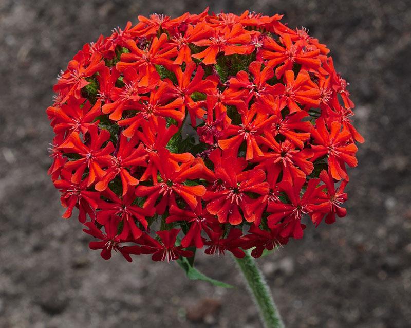 шаровидная форма соцветия