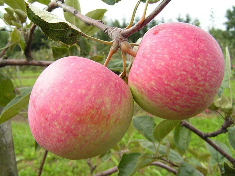 среднеспелый сорт яблони