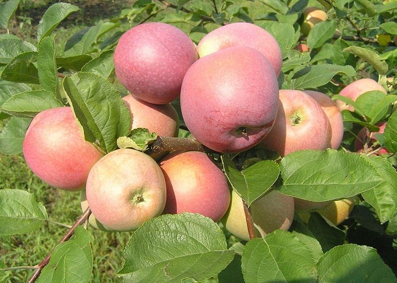 плодоношение яблони сорта Слава Победителям