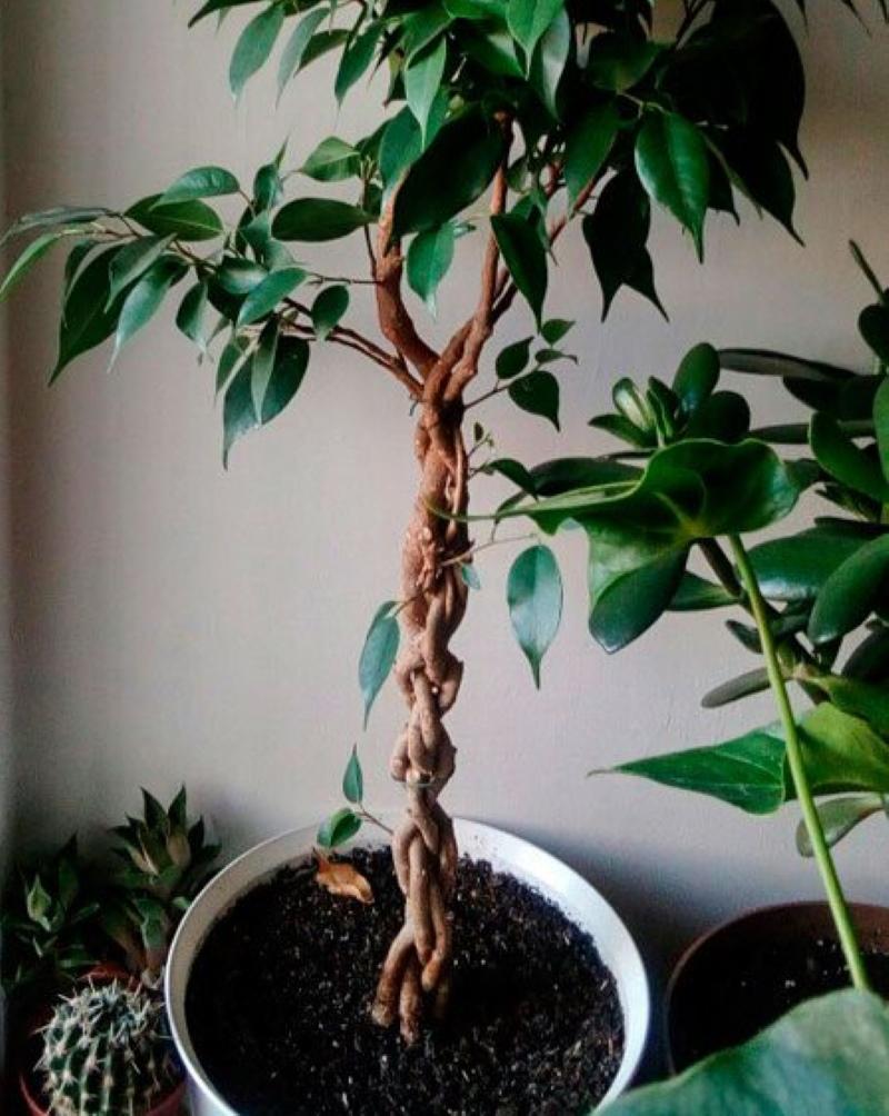 плетение стебля у фикуса