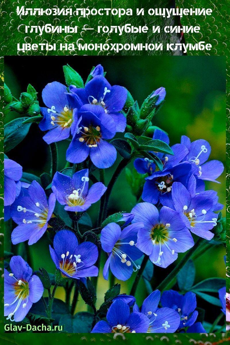 голубые и синие цветы