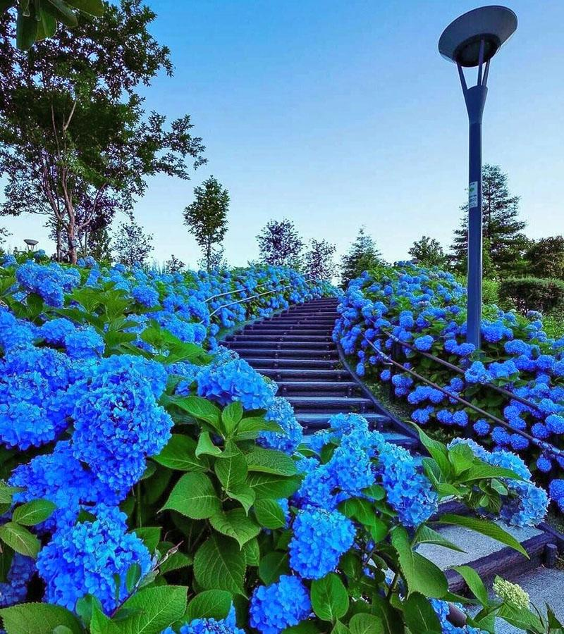голубые и синие цветы в ландшафтном дизайне