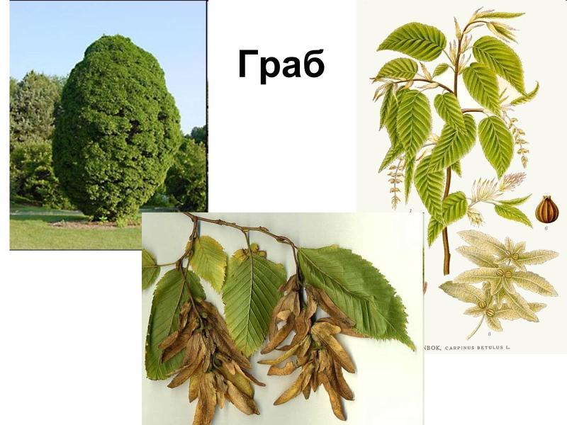 граб фото дерева и листьев