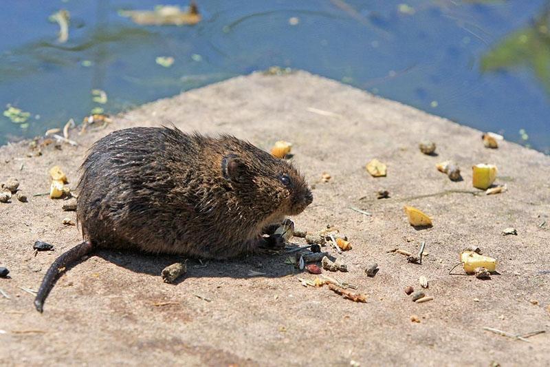 хитрый грызун водяная крыса