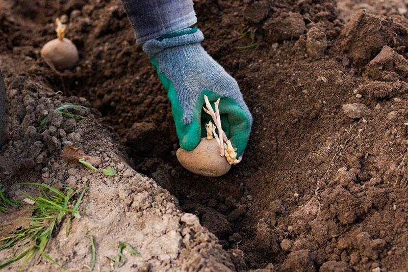 как применять костную муку как удобрение для картофеля
