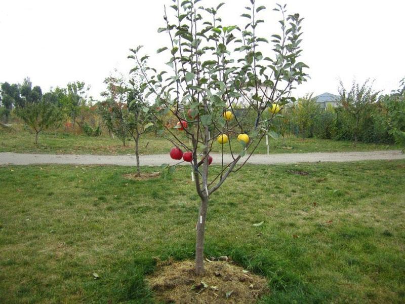 костная мука для плодовых деревьев