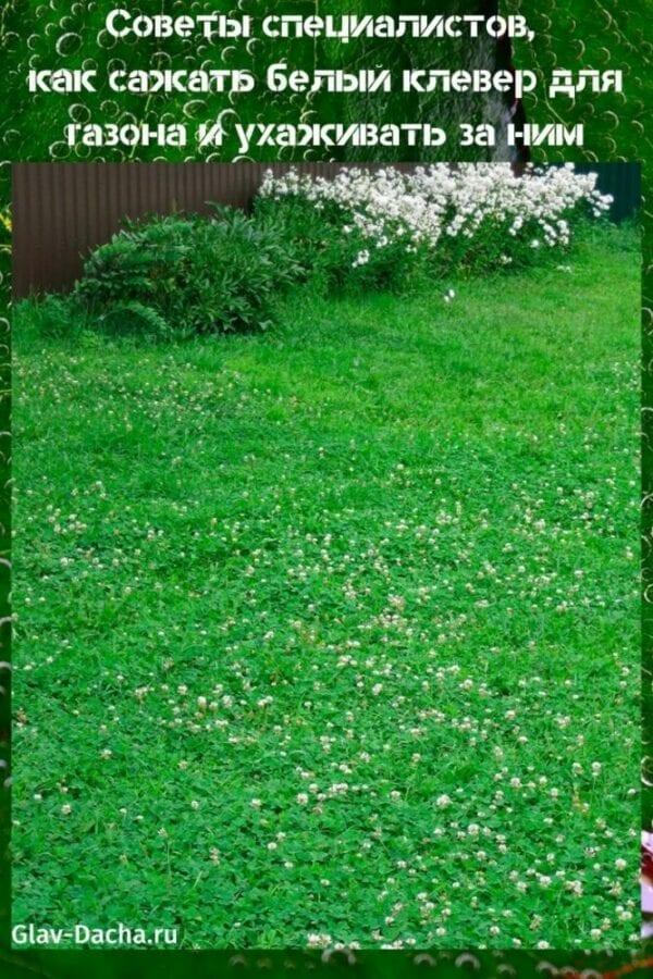 как сажать белый клевер для газона