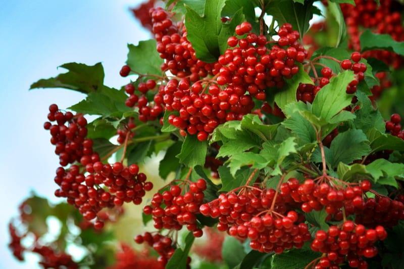 ягода калина красная польза и вред