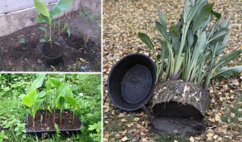 канны выращивание в саду
