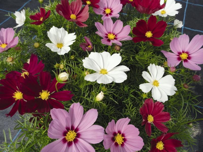цветение космеи
