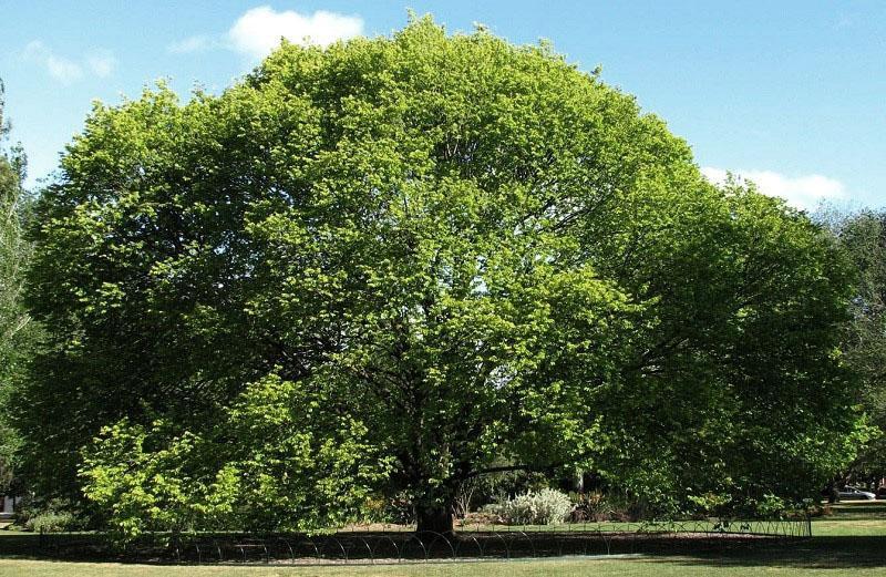 уникальное дерево с лечебными свойствами