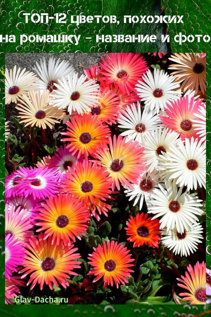 название и фото цветов похожих на ромашку
