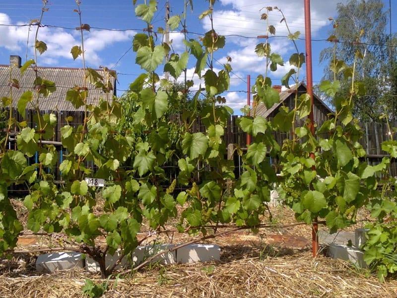 когда подкармливать виноград в зиму