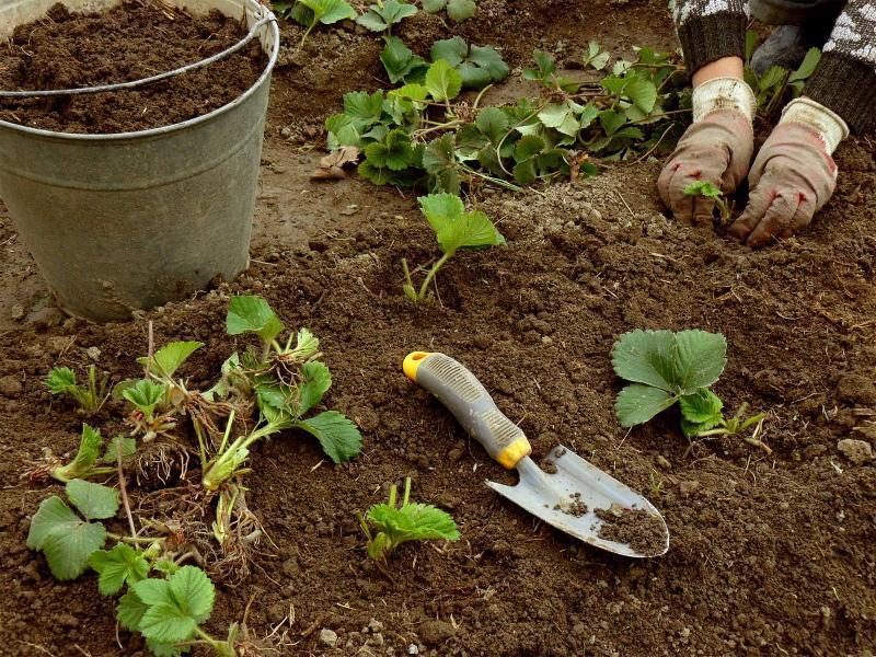 как правильно пересадить клубнику осенью